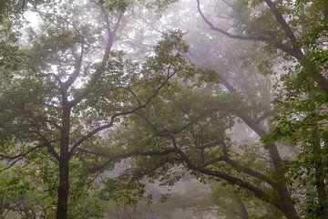 Opwaarts zicht in een beukenbos tijdens een mistige herfstochtend van Sjoerd van der Wal