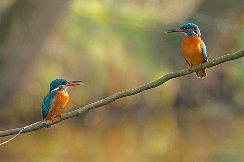 IJsvogel - Liefde op het eerste gezicht