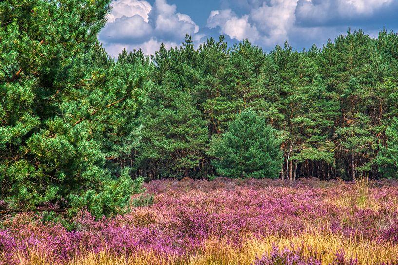 Paarse heide, groene dennen en een blauwe lucht in de Weerterheide van Jolanda de Jong-Jansen