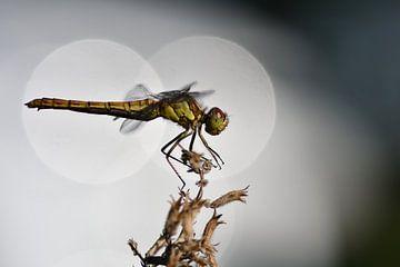 Libelle im Kreis gefangen von A. Bles