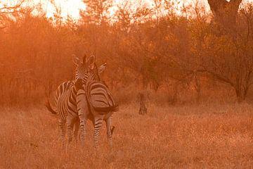 Zebras bij zonsondergang van Lotje Hondius