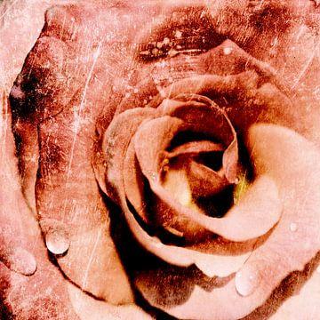 a rose van Jana Behr