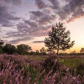 Blühende Heidelandschaft in Noord-Brabant (Niederlande) von Hans Moerkens