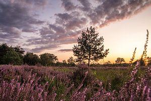 Blühende Heidelandschaft in Noord-Brabant (Niederlande) von