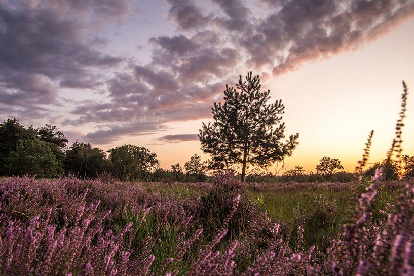 Bloeiende Heide in Noord-Brabant (Nederland) van Hans Moerkens