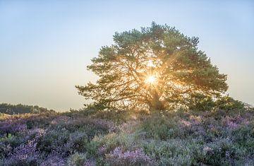 Sonnenstrahlen bei Sonnenaufgang auf der Brunssummerheide von John van de Gazelle