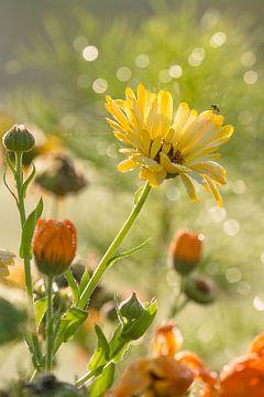 Fleurs d'été au soleil le matin en été sur Edith Albuschat