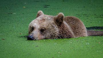 Bruine beer in water von Randy van Domselaar