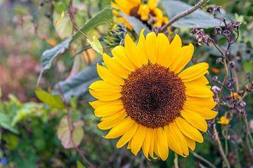 Große gelb blühende Sonnenblume neben anderen Wildpflanzen von Ruud Morijn