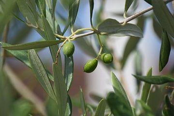 Olivenbaum von Els Royackers