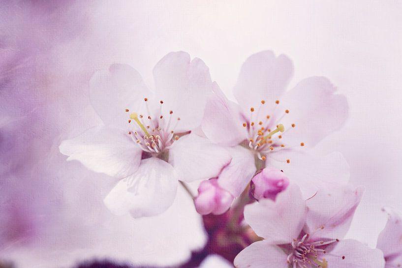 Japanse kersenbloesem van LHJB Photography