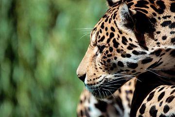 Leopard sur Geert Huberts