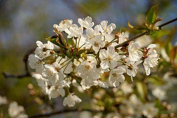 Blüte im Frühling von Luci light