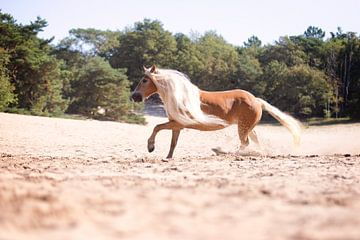 Haflinger in de duinen van Vera Sijpkes