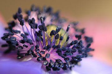 Purpuranemone von Bärbel Severens