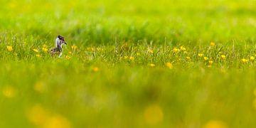 Kievitjong in gras met bloemen van