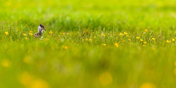 Kievitjong in gras met bloemen