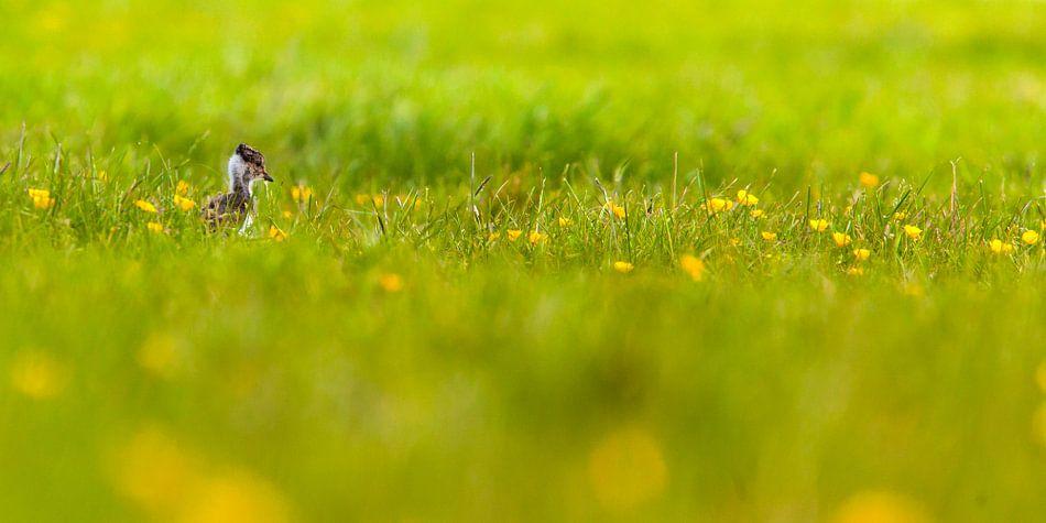 Kievitjong in gras met bloemen van Arjan van Duijvenboden