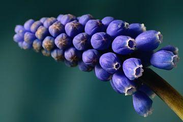 blaue Traubenblüte von Saskia Schotanus