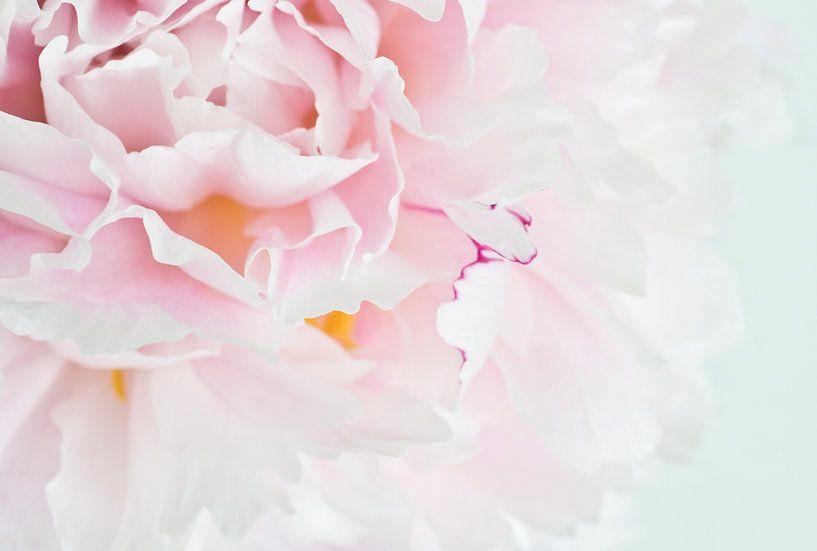 Roos in zacht wit 2 van Greetje van Son