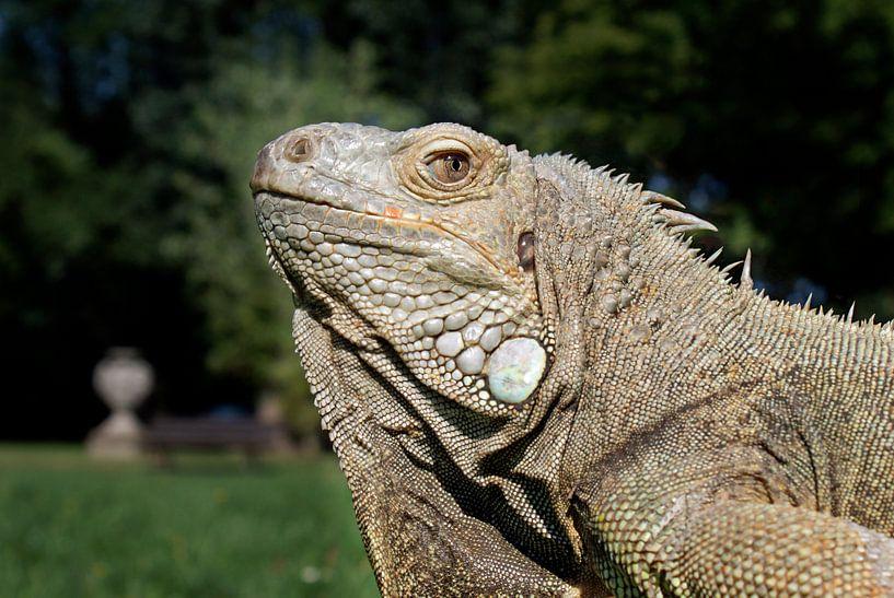 Grüner Leguan - Iguana iguana von Ingo Rasch