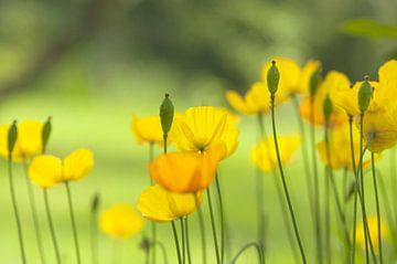 Gelber Mohn im Garten, es ist Sommer von Frans van der Gaag