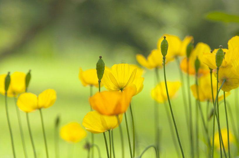 Gele klaproos in de tuin, dan is het zomer van Frans van der Gaag