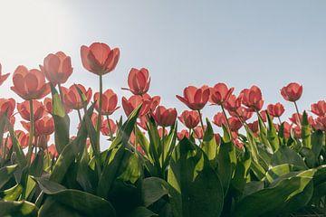 Rote Tulpen in Blüte (2/2) von Sophia Eerden