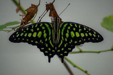 groene vlinder van Roy Schmidt