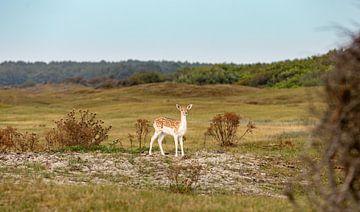 Junges Rehwild in den Dünen 3 von Percy's fotografie