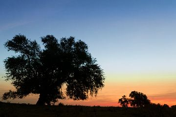 Wilg met zonsopkomst van Irene Damminga