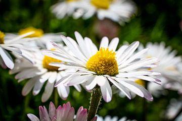 Der Sonne entgegen - Portrait eines Gänseblümchens von pixxelmixx