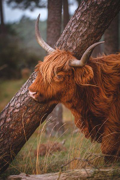 Schotse Hooglander van Andy van der Steen - Fotografie