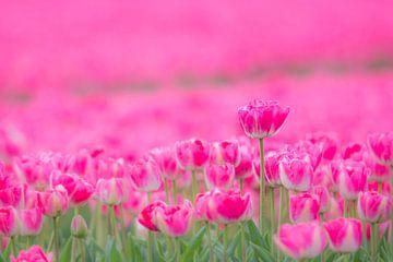 Tulpen von Martzen Fotografie