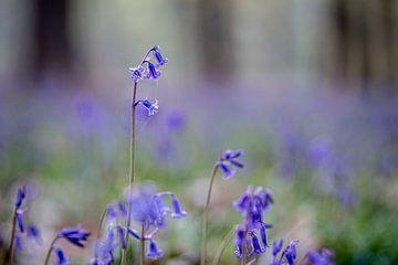 Blauwe boshyacinten