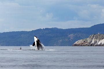 Jumping Orca or killer whale sur Menno Schaefer
