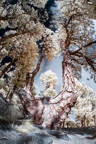 Een bos op het eiland La Palma