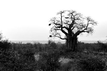 Typische Afrikaanse boom met dikke stam, zwartwit van Vera Boels