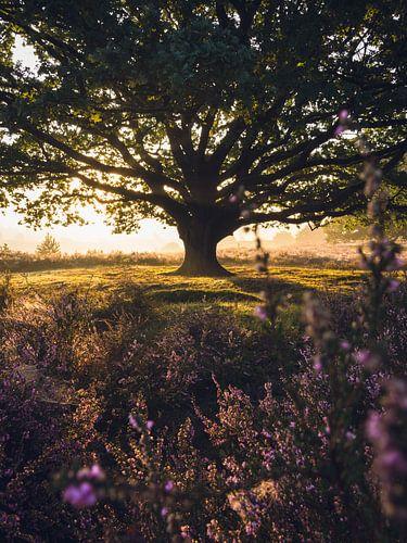 Zonsopkomst Eikenboom Veluwe van