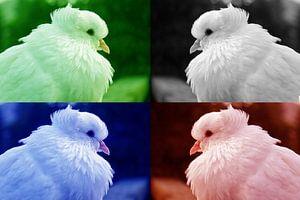 Witte duif - 4 kleuren