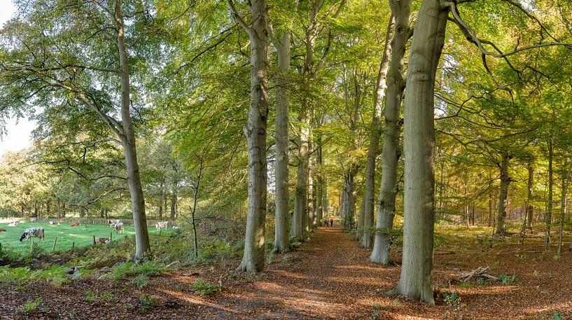 Boslaan in herfstkleuren, buitenplaats Land en Bosch, s-Graveland, , Noord-Holland van Rene van der Meer