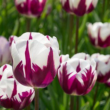 Tulpen van Nederland op Foto