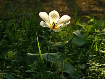 Evening walk in spring (tulip) van Barbara Hilmer-Schroeer