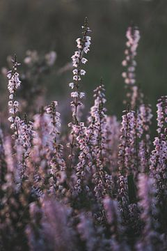 Paarse heide in bloei van Michiel Dros