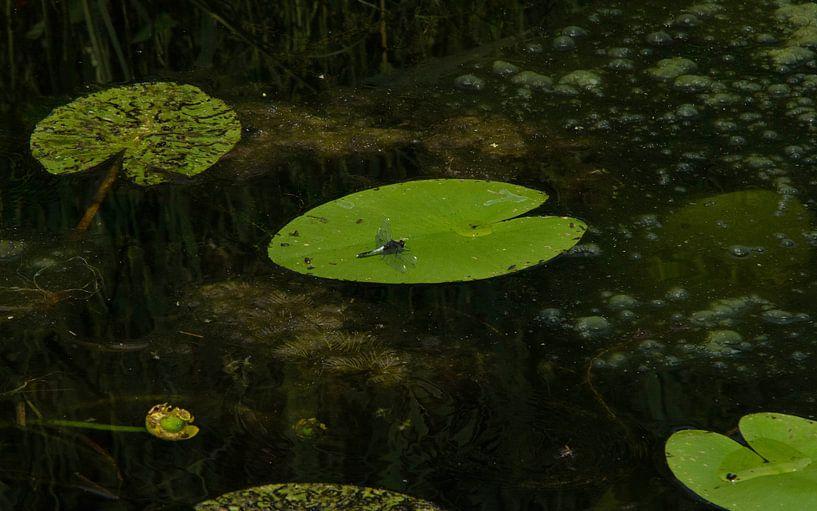 Sierlijke Witsnuitlibel, foto alsof het geschilderd is van Marnix Jonker