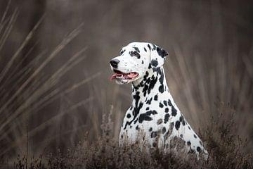 Dalmatiër hond tussen de heide van Lotte van Alderen