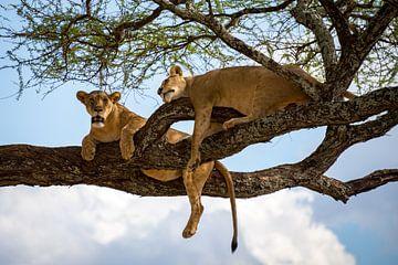 Luie leeuwen in de boom van Pieter Tel