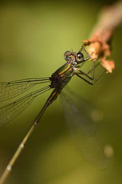 Libelle groen macro sur Sascha van Dam
