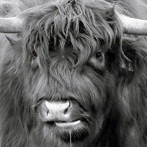 koekop - Schotse Hooglander