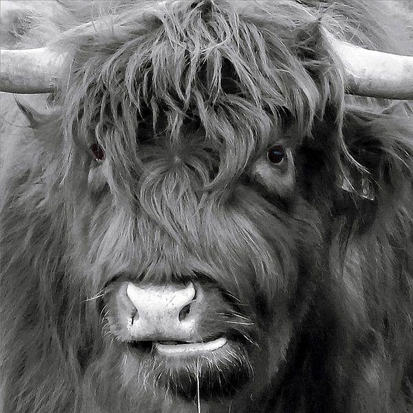 koekop - Schotse Hooglander van geen poeha